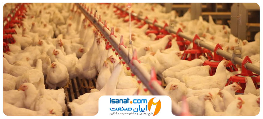 طرح توجیهی پرورش مرغ گوشتی در قفس